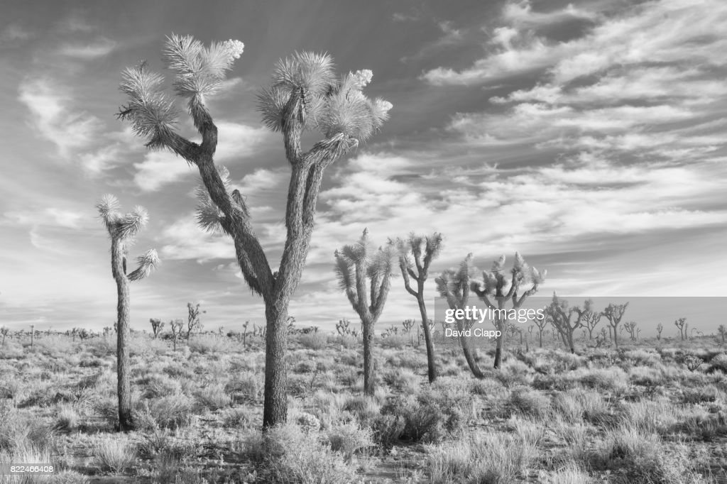 Infrared image, Joshua Tree National Park, USA : Stock Photo