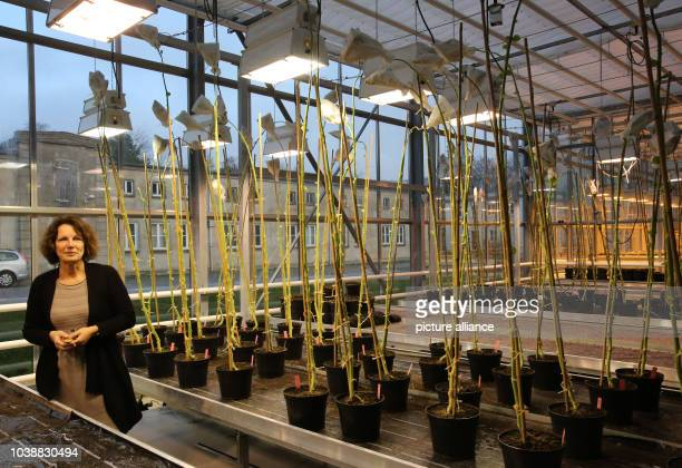 Inge Broer professor of agricultural biotechnology presents an area of genetically modified tomato plants at the new 'FischGlasHaus' operated by the...