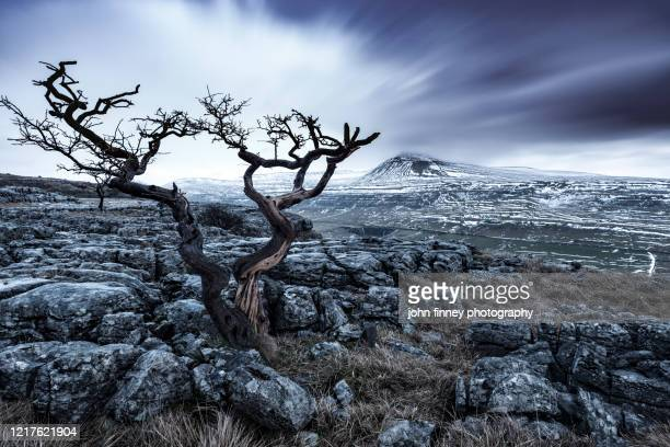 ingleborough fell and a lone tree on twistleton scar. yorkshire dales. uk. - atmospheric mood stock pictures, royalty-free photos & images