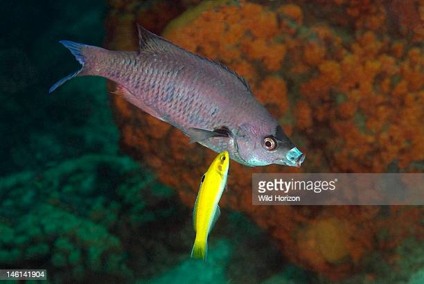 Initial yellow phase of a bluehead wrasse cleaning a creole wrasse Thalassoma bifasciatum Clepticus parrae Curacao Netherlands Antilles
