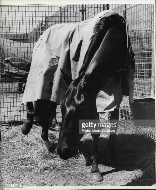 Injured cup runner Shaitan raises his injured leg in Pat Courtney stables at Flemington October 31 1976