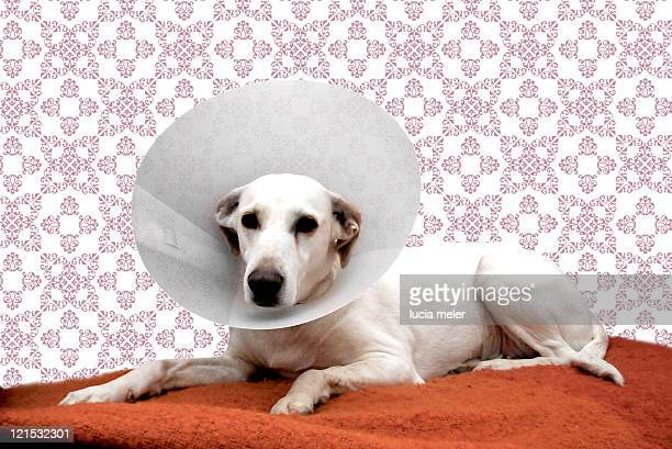 injured dog - protective collar stock pictures, royalty-free photos & images
