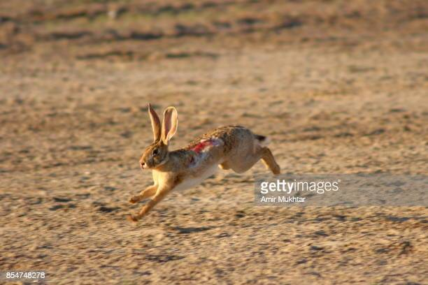 injured rabbit in dog chase rabbit (dog race) - tag game stock photos and pictures