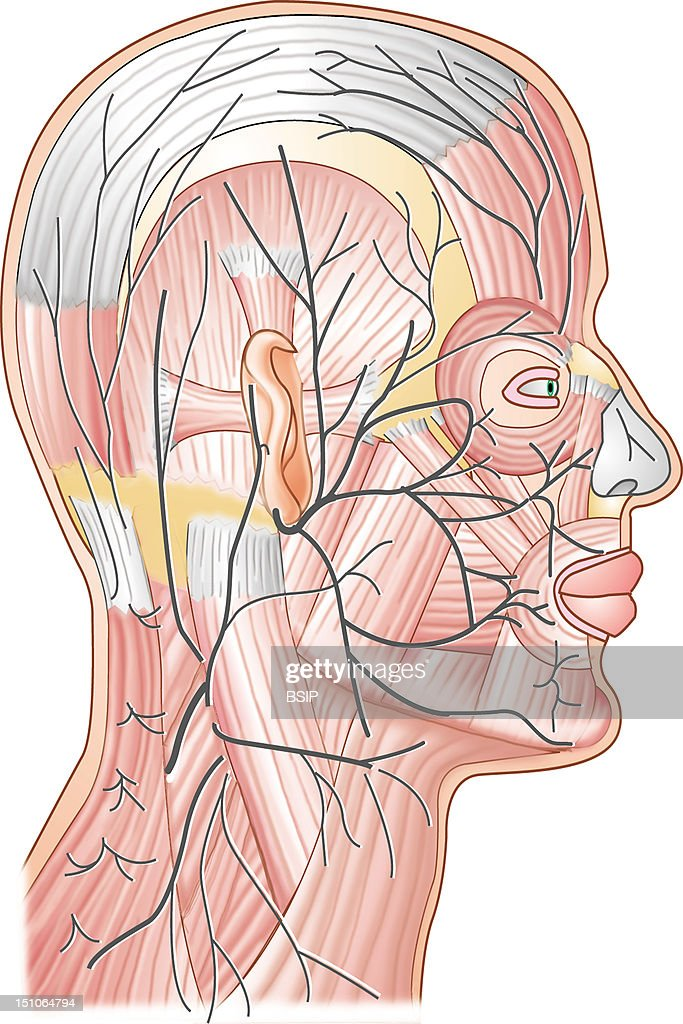 Cranial Nerve Drawing Pictures Getty Images