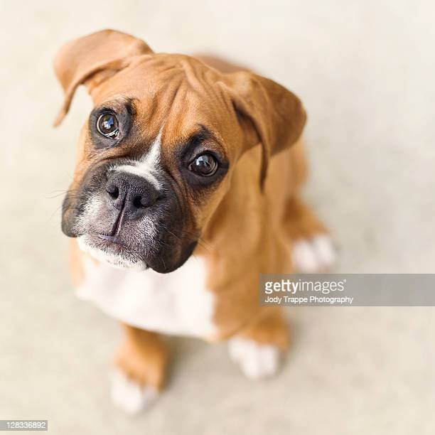innocence - boxer dog stock pictures, royalty-free photos & images