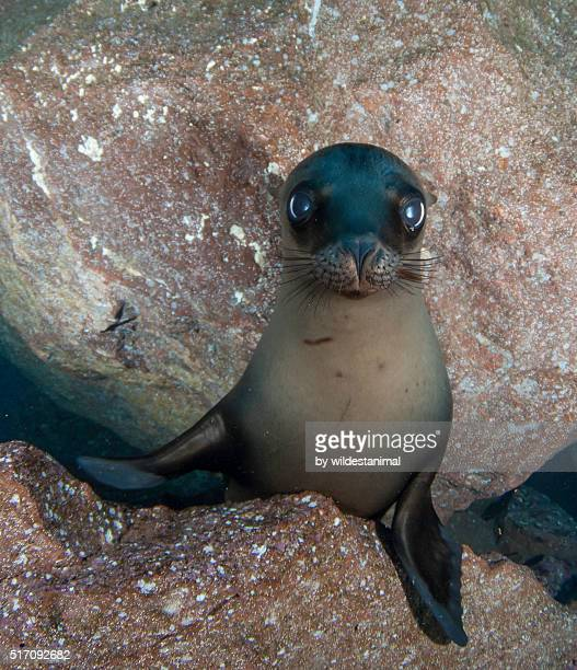 innocense - baby seal stock photos and pictures