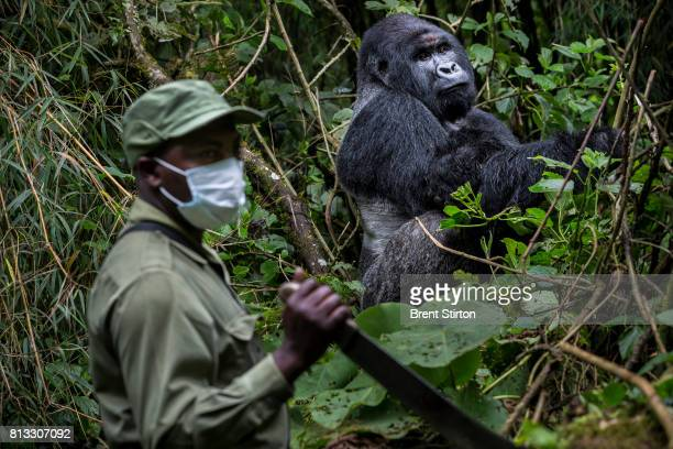 Innocent Mburanumwe head warden of the Mountain Gorilla sector of Virunga National Park Innocent is seen interacting inside the gorilla sector at...