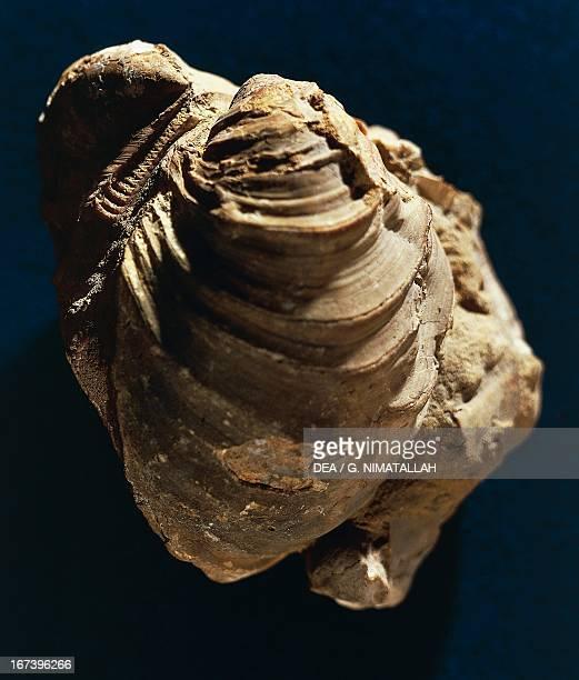 Inoceramus algeriensis fossil Bivalvia Paris Musée National D'Histoire Naturelle