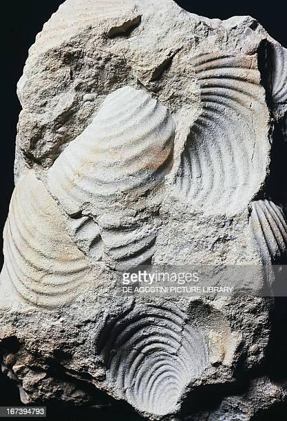 Inoceramus balticus fossils Bivalvia Late Cretaceous Epoch Germany Milan Museo Civico Di Storia Naturale