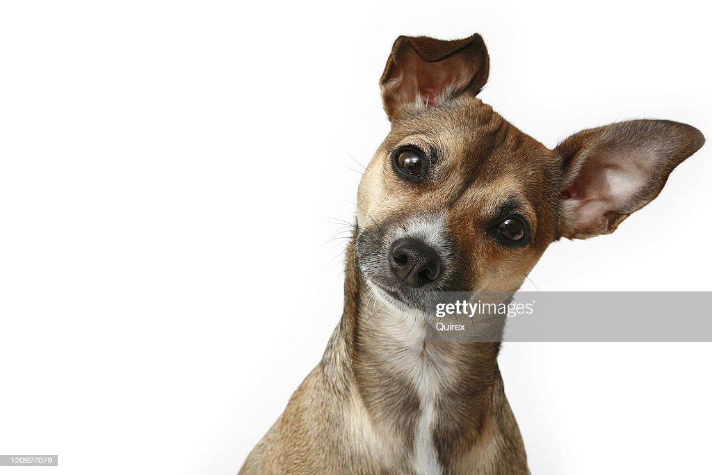 Inquisitive Chihuahua : Stock Photo