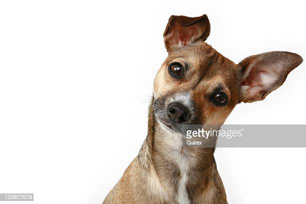 inquisitive chihuahua - curiosity stock pictures, royalty-free photos & images
