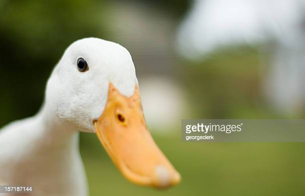 inquisitive duck - duck bird stock photos and pictures