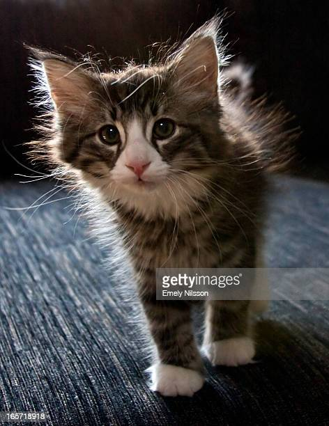 Inquisitive, fluffy kitten walking to the camera