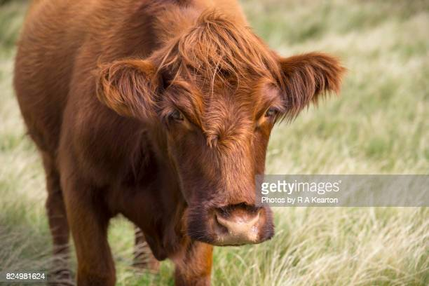 inquisitive, hairy brown cow - cow eyes stock pictures, royalty-free photos & images