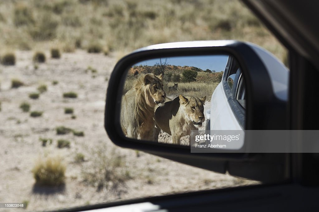 Inquisitive lions : Stock Photo