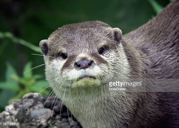 inquisitive otter staring at camera - otter stock photos and pictures