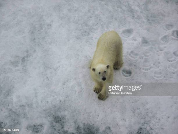 inquisitive polar bear, east greenland - bear tracks stock photos and pictures