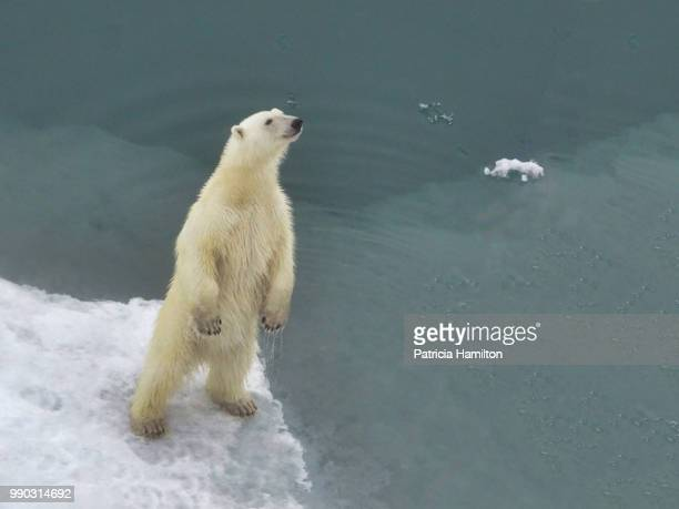 inquisitive polar bear standing open back legs, east greenland - east stock photos and pictures