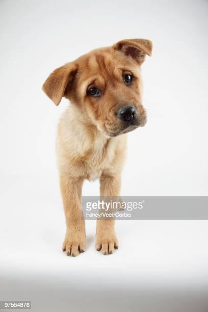 Inquisitive Puppy
