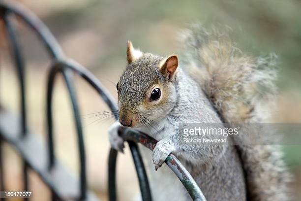 inquisitive squirrel - gray squirrel stock photos and pictures