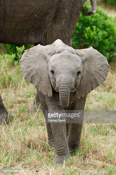 inquisitive wild baby elephant - baby elephant stock photos and pictures