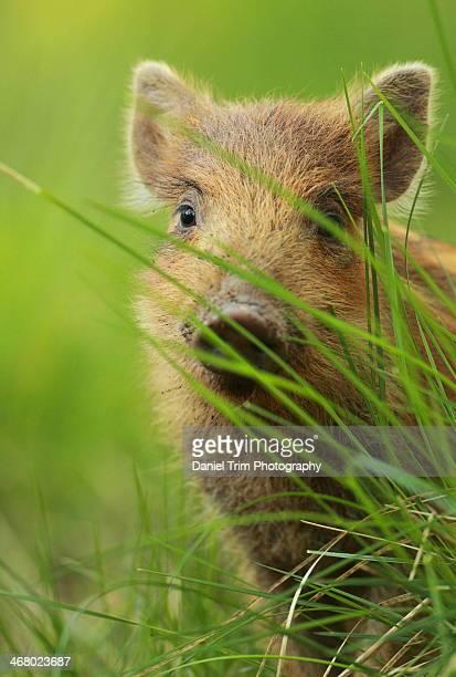 Inquisitive wild boar piglet