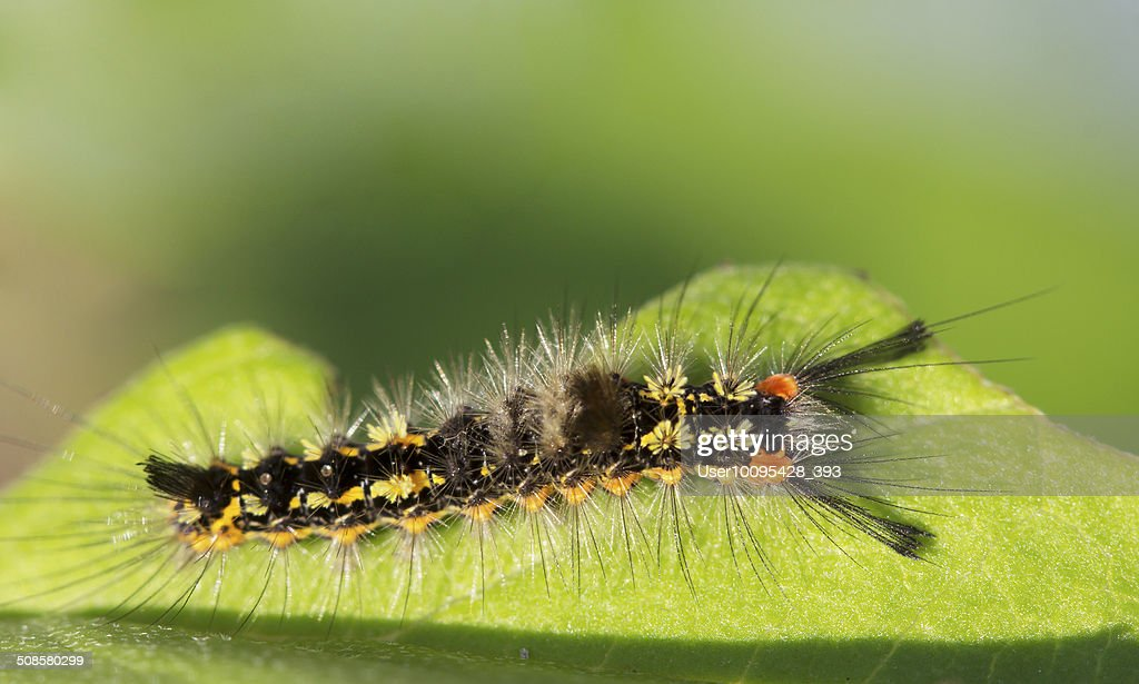 Insect caterpillar Orgyia recens. : Stock Photo