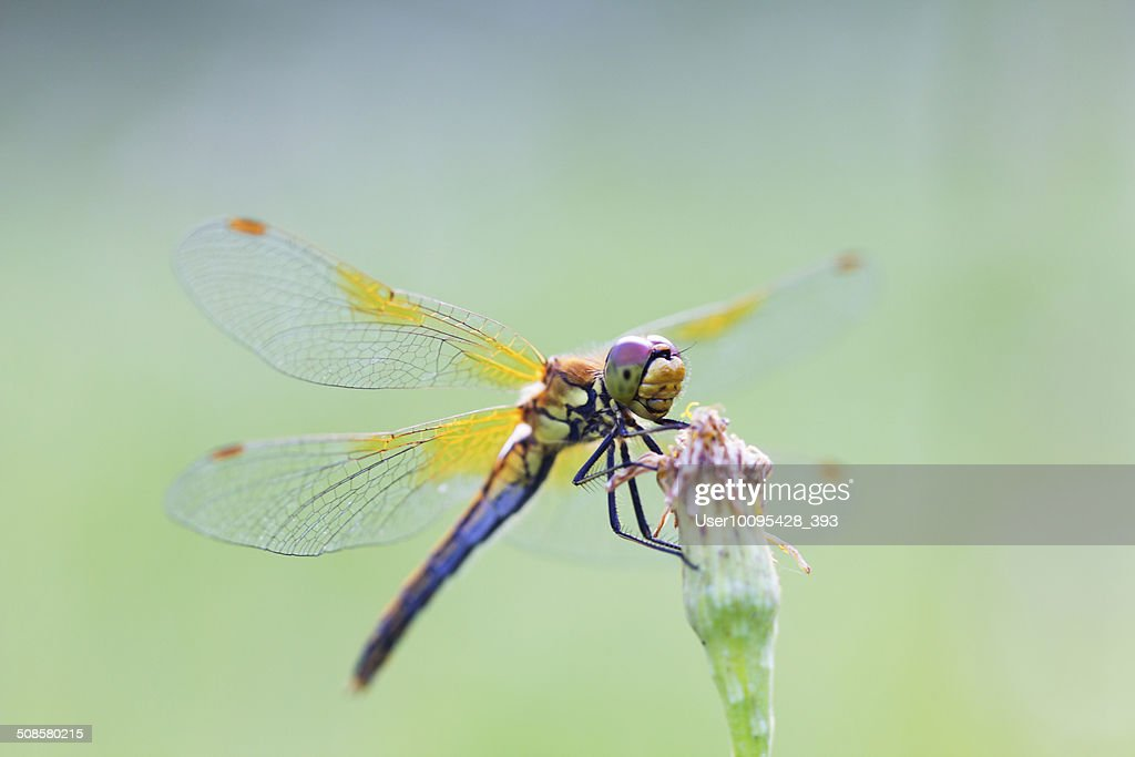 Insect dragonfly : Stock Photo