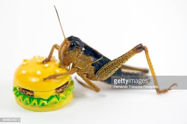Insect eating a hamburger