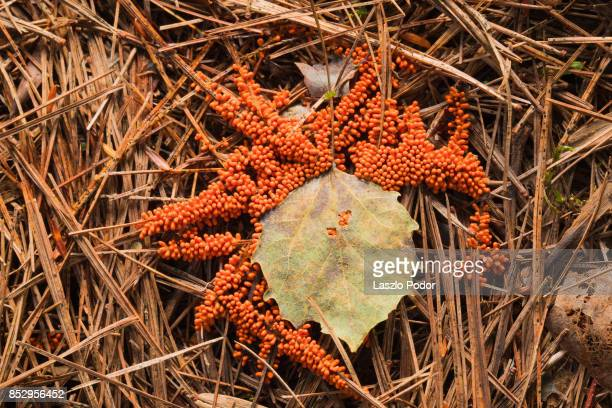 Insect Egg Slime Mold