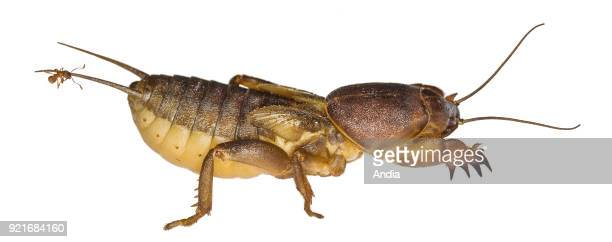 European mole cricket with an ant on its tail Garden pests