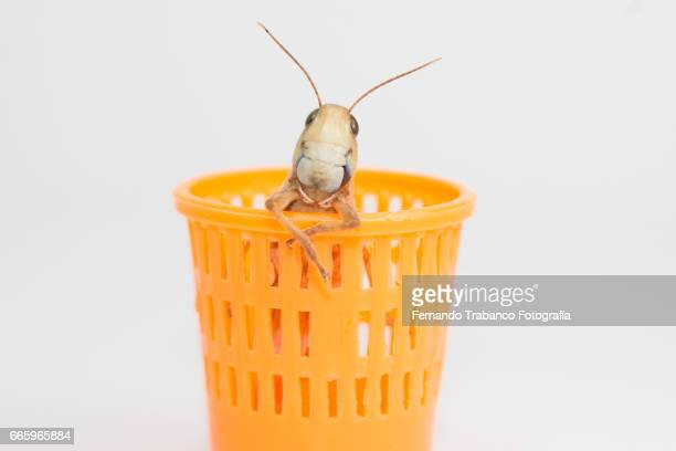 Insect grasshopper hiding Inside a wastebasket in the office