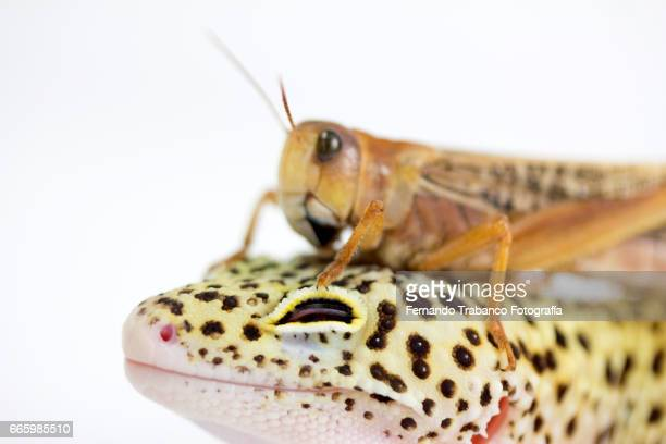 insect grasshopper on the head of a lizard. bother you - animal finger stock photos and pictures