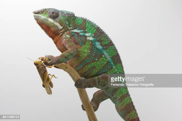 Insect hides from the chameleon attack
