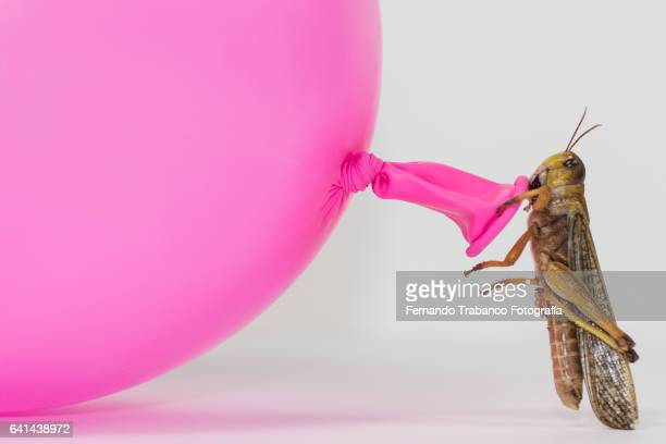 Insect (grasshopper) inflating a pink balloon