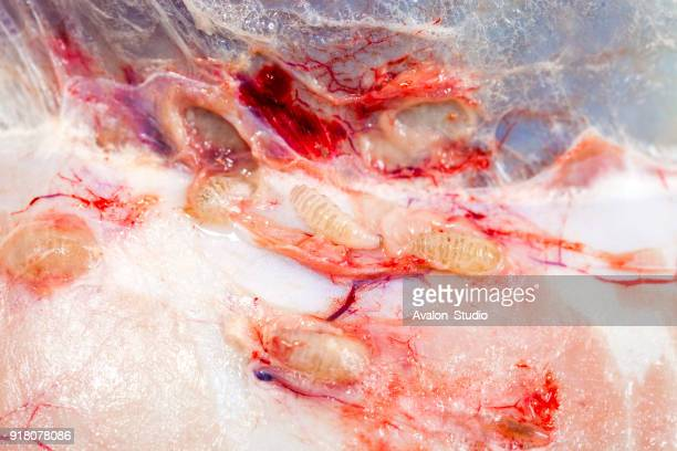 insect larvae hypoderma diana under the deer's skin - bot fly stock photos and pictures