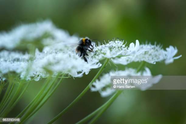 Insect on hogweed (heraclulem sphondylium herb)