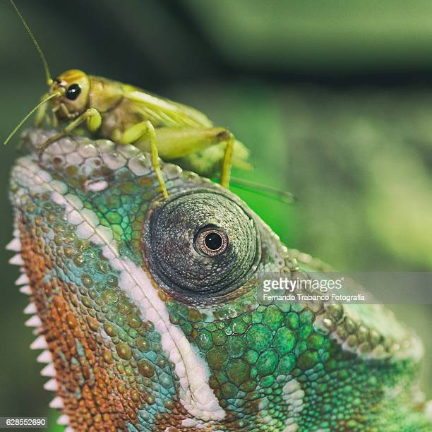 insect on the head of a chameleon (sqare format) - animal finger stock photos and pictures