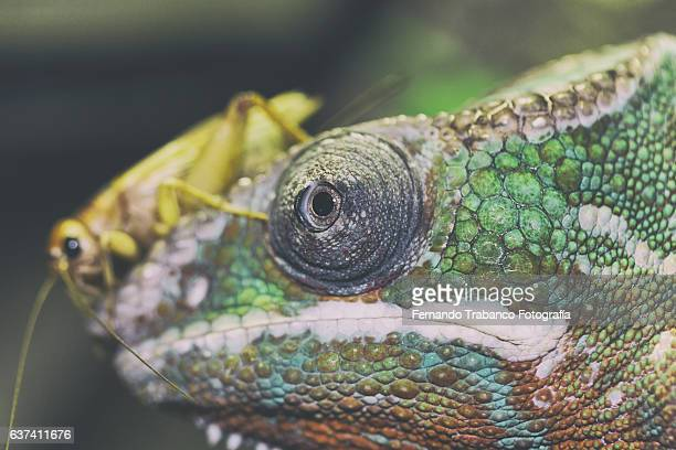 insect on the head of a chameleon - animal finger stock photos and pictures