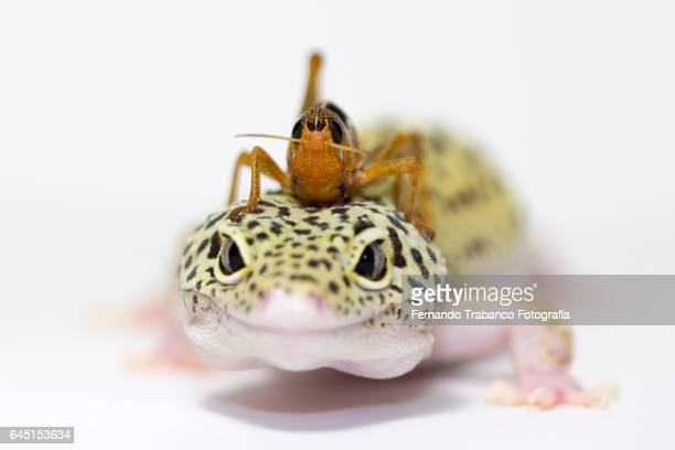 insect on the head of a lizard - animal finger stock photos and pictures