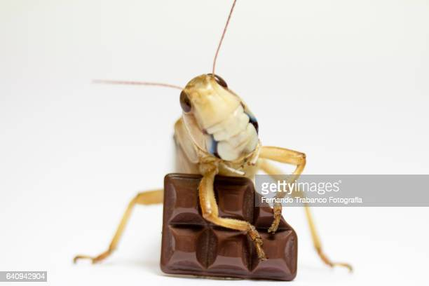 Insect pest eat human food (chocolate bar)