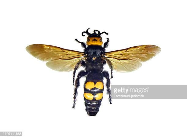 insect - ハナバチ ストックフォトと画像
