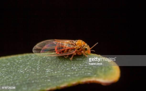 insect - cicala foto e immagini stock