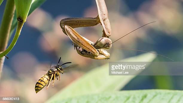 Insect Predators - Mantis and Wasp