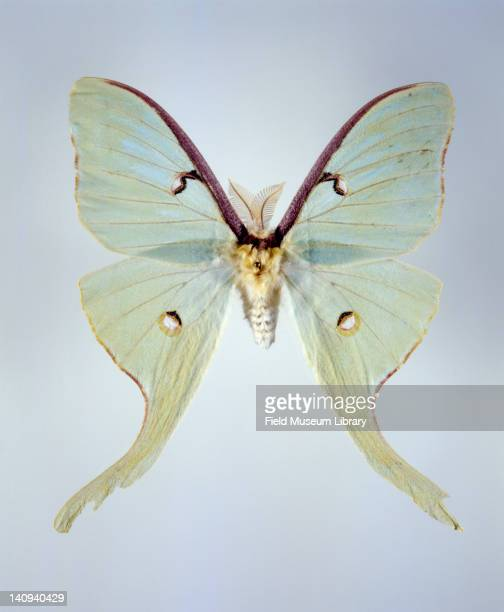 Insect specimen of a Luna Moth March 14 2001