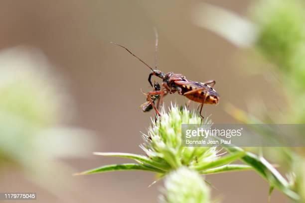 insecte prédateur, punaise assassine - assassin bug stock pictures, royalty-free photos & images