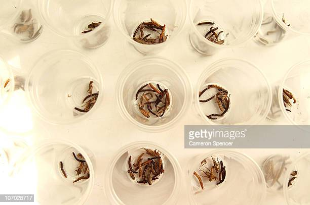 Insects are separted into cups for eating at a checkpoint in Pyrmont during the 2010 Urban Max Series adventure race at The Rocks on November 20 2010...