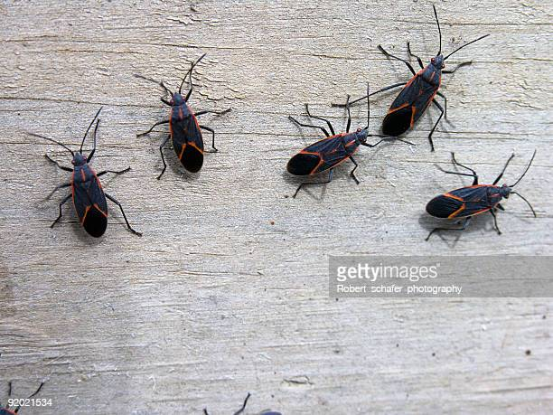 insects - box elder bugs - insect stock pictures, royalty-free photos & images