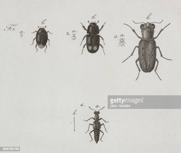Insects engraving by Filippo Imperato after a drawing by Antonio Siesto from Atti della Reale Accademia delle Scienze Sezione della Societa Reale...