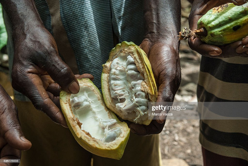 Inside of a cocoa fruit : Stock Photo